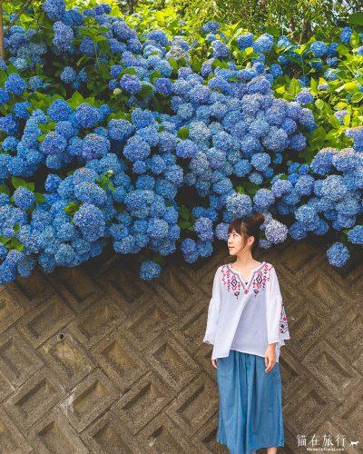 雲昌寺 - 寺院外爆棚的紫陽花-2