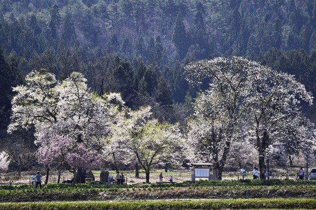 置賜地方-十二の桜